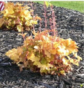 Amber Waves Heuchera