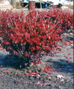 Red Burning Bush