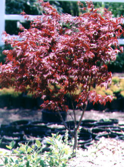 Japanese Maple