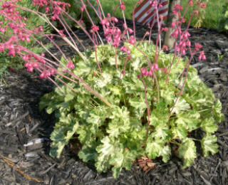 Snow Angel Heuchera