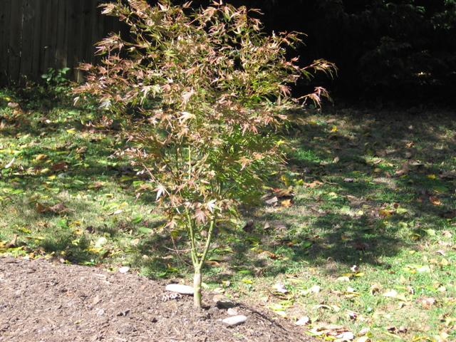 Growing Japanese Maples in the Ground