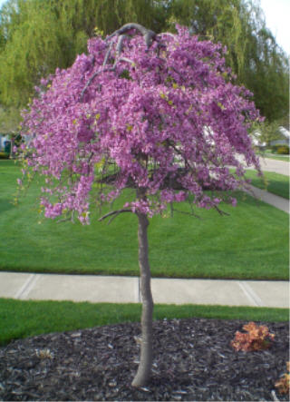 Lavender Twist, Weeping Redbud Tree Spring Blossoms