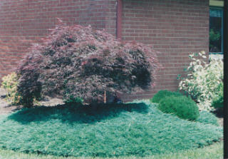 carpet juniper. blue rug juniper! growing them, propagating them and using in a landscape design. carpet juniper