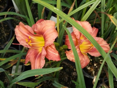 Rosy Returns Daylily